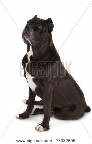Cane Corso Black Dog On White Background