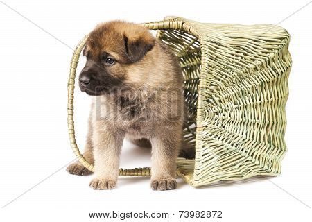 Sheepdog`s Puppy Isolated Over White Background