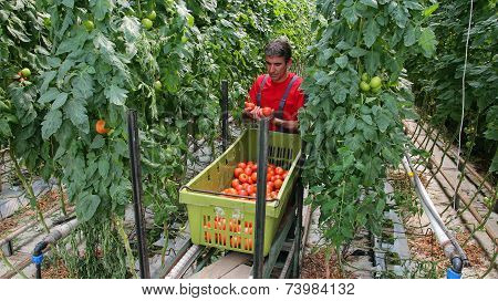 Farmer Harvesting Tomatoes