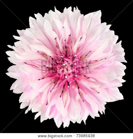 Pink Cornflower Flower Isolated On Black Background