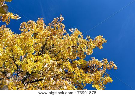 Autumnal Yellow Foliage Against Blue Sky