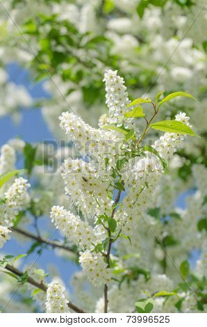 Blossom of the bird-cherry tree with white flowers