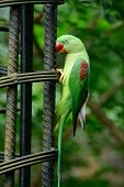 stock photo of parakeet  - beautiful female Alexandrine Parakeet (Psittacula eupatria) in Thai forest