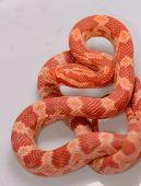 stock photo of terrarium  - beautiful Amelanistic Hatchling Corn snake - JPG