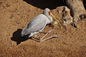 pic of omnivore  - A large scavenging and omnivorous bird found all over Asia - JPG