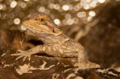 image of terrarium  - A beautiful young bearded dragon in a terrarium - JPG