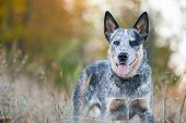 pic of heeler  - Autumn beauty portrait of Australian cattle dog - JPG
