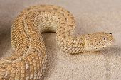 pic of dwarf  - The dwarf adder is a small sidewinding viper species found in the sand dunes of coastal Namibia and Angola - JPG