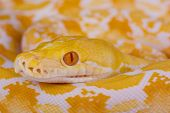 picture of pythons  - The reticulated python is the longest python species on the world - JPG