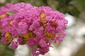 stock photo of crepe myrtle  - Macro of pink Crape Myrtle - JPG