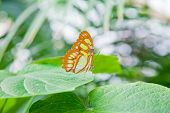 image of malachite  - Closeup on the Malachite Butterfly on a leaf with bokeh effect in the background - JPG