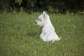 stock photo of west highland white terrier  - West Highland White Terrier puppy over nature background - JPG