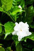 image of gardenia  - Gardenia jasminoides in the garden of thailand - JPG