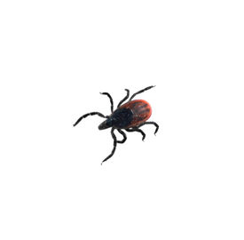 stock photo of ixodes  - I close up of a Lyme Disease Carrying Deer Tick Ixodes scapularis  - JPG