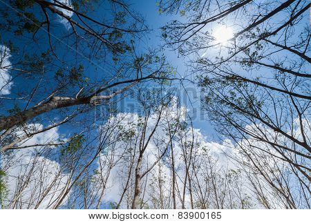 Turn Up View Of Rubber Tree ,with Blue Sky And Sun Light