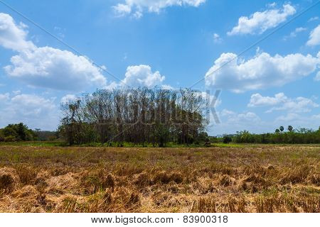 Rubber Garden And Dried Rice Field With Blue Sky