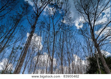 Turn Up View Of Rubber Tree ,with Blue Sky And Cloud