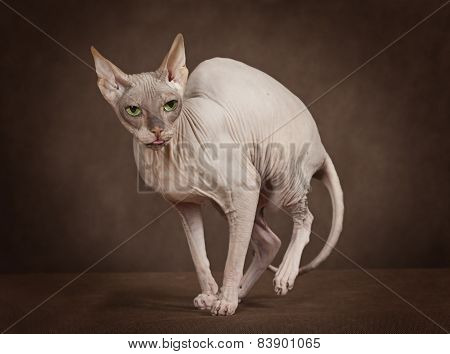 Cat Of Breed Sphinx