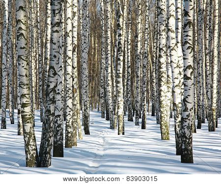 Pathway In Winter Birch Forest In Sunny Weather