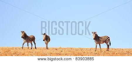 Three zebras on the top of a hill