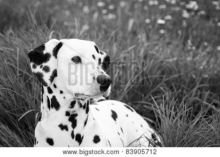 Dalmatian Over Grass