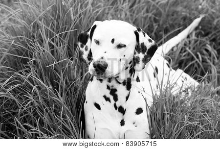 Dalmatian With Eyes Closed