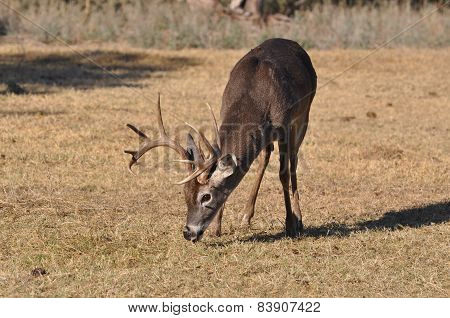 Buck whitetail deer eating