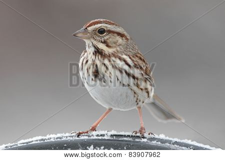 Song Sparrow (melospiza Melodia) In Winter