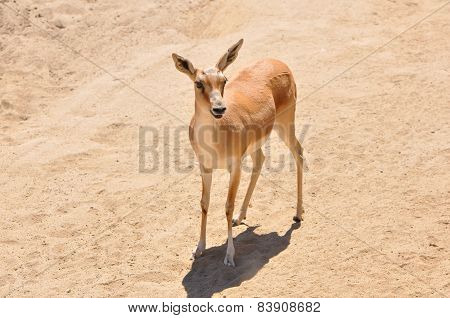 Kenya Impala