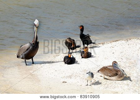 Pelicans Cormorants and seagull