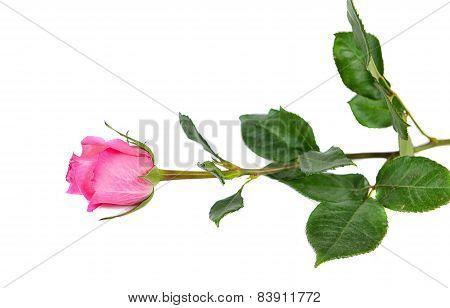 Pink Nice Rose  Flower