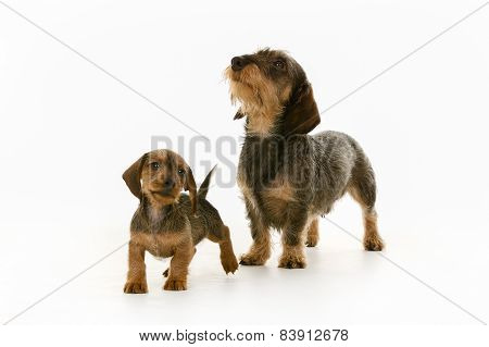 Wirehaired Dachshund Mother And Puppy Dog
