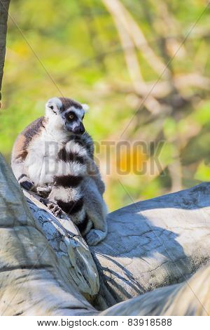 Ring-tailed Lemur (lemur Catta) Sit On The Tree