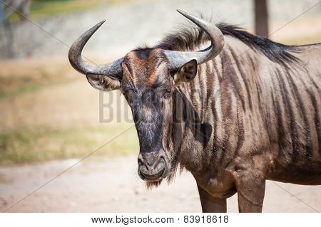 Wildebeest Standing On The Ground, Closeup
