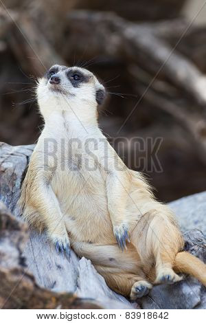 Alert Meerkat (suricata Suricatta) Sitting And Relax On Tree As Guard
