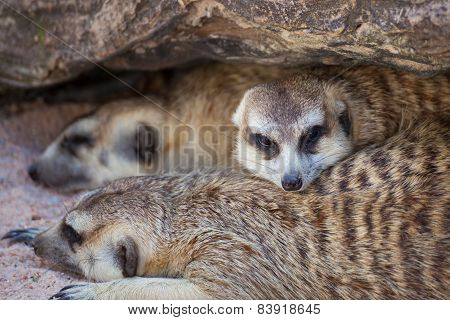 Group Of Meerkat (suricata Suricatta) Sleeping Under The Timber Hole