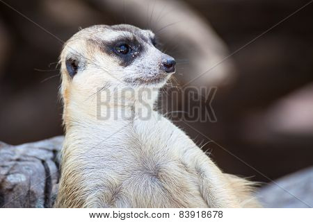 Alert Meerkat (suricata Suricatta) Sitting And Relax On Tree As Guard, Closeup