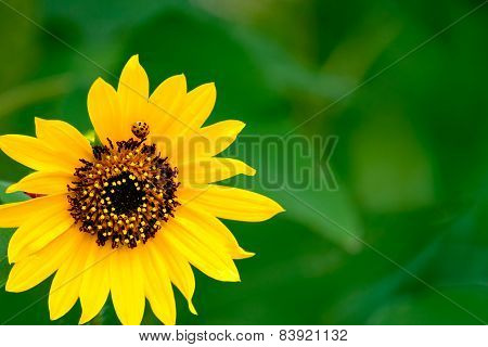 Ladybug On A Yellow Flower