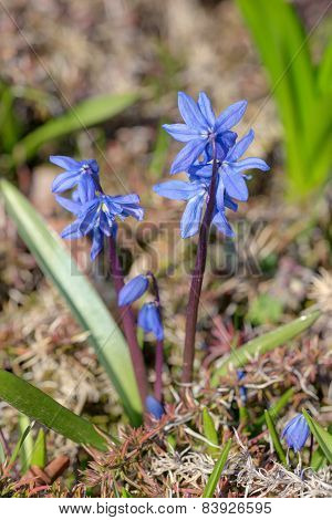 Blue Spring Flowers Closeup
