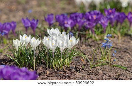 White And Purple Crocuses