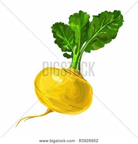 Turnip vector illustration  hand drawn  painted watercolor