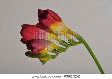 Red freesia flower, isolated