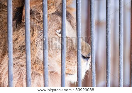 Wise Glance Lion Behind Bars