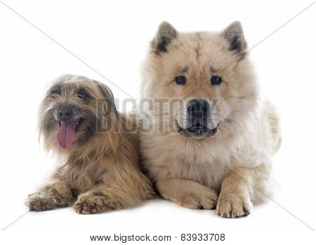Pyrenean Shepherd And Eurasier
