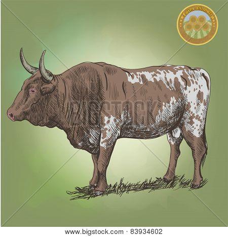 adult bull