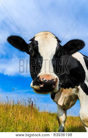 Curious Dairy Cow Close-up In Field