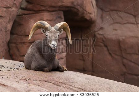 Bighorn Sheep Lying On A Rock