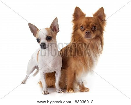 Young Chihuahuas
