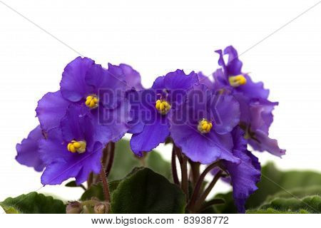 Deep Purple African Violet