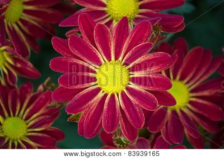 Red Osteospermum Daisy Flower